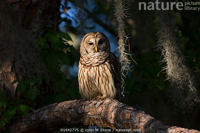 Southern Barred Owl (Strix varia georgica) perched on a pine branch in late afternoon, Myakka City, Florida, USA. Non-exclusive, PLANTAE,PLANT,TRACHEOPHYTA,VASCULAR PLANT,PINOPSIDA,CONIFER,GYMNOSPERM,SPERMATOPHYTE,PINOPHYTA,CONIFEROPHYTA,CONIFERAE,SPERMATOPHYTINA,GYMNOSPERMAE,PINALES,PINACEAE,PINUS,PINE TREE,PINE,ANIMALIA,ANIMAL,WILDLIFE,VERTEBRATE,CHORDATE,AVES,BIRDS,STRIGIFORMES,OWL,BIRD OF PREY,STRIGIDAE,TRUE OWL,TYPICAL OWL,STRIGINAE,STRIX,STRIX VARIA,BARRED OWL,NORTHERN BARRED OWL,1 ANIMAL,THE AMERICAS,AMERICAS,NORTH AMERICA,USA,AMERICA,THE UNITED STATES,THE US,U.S.A.,UNITED STATES,UNITED STATES OF AMERICA,US STATES,AMERICAN STATE,AMERICAN STATES,US STATE,SOUTHERN USA,SOUTHEAST US,FLORIDA,EYE CONTACT,LOOKING TO CAMERA,LOOKING TOWARDS CAMERA,LOOKING TOWARDS THE CAMERA,LOOKS AT CAMERA,LOOKS TOWARDS CAMERA,LOOKS TOWARDS THE CAMERA,HORIZONTAL,PORTRAIT,PORTRAITS,PLANT,VASCULAR PLANT,CONIFER,PINE TREE,ANIMAL,VERTEBRATE,BIRDS,OWL,TRUE OWL,BARRED OWL, Lynn M Stone