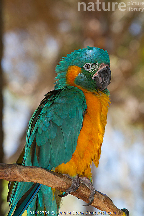 Blue-Throated Macaw (Ara glaucogularis) captive, preening. Endemic to small area of north central Bolivia. Critically endangered  ,  ANIMALIA,ANIMAL,VERTEBRATE,AVES,BIRDS,PSITTACIFORMES,PARROT,PSITTACIDAE,TRUE PARROT,ARA,MACAW,ARA GLAUCOGULARIS,BLUE THROATED MACAW,COLOUR ,COLOR,COLORED,COLOURED,COLORS,COLOURS,BLUE,YELLOW,1 ANIMAL,VERTICAL,PORTRAIT,PORTRAITS,ANIMAL,VERTEBRATE,BIRDS,PARROT,TRUE PARROT,MACAW,BLUE THROATED MACAW  ,  Lynn M Stone