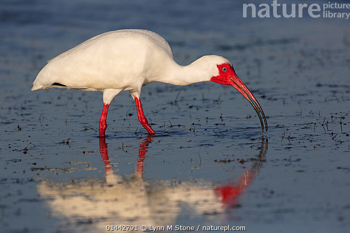 White Ibis (Eudocimus albus) in breeding plumage with bright red skin, with fiddler crab at low tide, Pinellas County, Florida, USA  ,  ANIMALIA,ANIMAL,WILDLIFE,CRUSTRACEA,CRUSTACEAN,MALACOSTRACA,DECAPODA,DECAPOD,OCYPODIDAE,CRAB,UCA,FIDDLER CRAB,VERTEBRATE,CHORDATE,AVES,BIRDS,PELECANIFORMES,THRESKIORNITHIDAE,EUDOCIMUS,IBIS,IBE,IBIDE,THRESKIORNITHINAE,EUDOCIMUS ALBUS,WHITE IBIS,AMERICAN WHITE IBIS,1 ANIMAL,THE AMERICAS,AMERICAS,NORTH AMERICA,USA,AMERICA,THE UNITED STATES,THE US,U.S.A.,UNITED STATES,UNITED STATES OF AMERICA,US STATES,AMERICAN STATE,AMERICAN STATES,US STATE,SOUTHERN USA,SOUTHEAST US,FLORIDA,HORIZONTAL,CREATURE,CREATURES,COASTLINE,COASTLINES,COAST,COASTAL,ANIMAL BEHAVIOUR,PARENTAL BEHAVIOUR,FEEDING,ARTHROPOD,ARTHROPODS,COLOUR PHASES,BREEDING PLUMAGE,BEHAVIOUR,PARENTAL,ANIMAL,CRUSTACEAN,DECAPOD,CRAB,FIDDLER CRAB,VERTEBRATE,BIRDS,IBIS,WHITE IBIS,MARINE  ,  Lynn M Stone