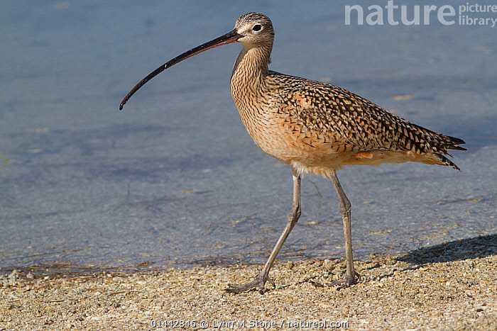 Long-Billed Curlew (Numenius americanus) hunting in sand for Fiddler Crabs while wintering on Mullet Key, Tampa Bay, Florida, USA  ,  ANIMALIA,ANIMAL,VERTEBRATE,AVES,BIRDS,CHARADRIIFORMES,SCOLOPACIDAE,SANDPIPER,NUMENIUS,CURLEW,NUMENIUS AMERICANUS,LONG BILLED CURLEW,1 ANIMAL,THE AMERICAS,AMERICAS,NORTH AMERICA,USA,AMERICA,THE UNITED STATES,THE US,U.S.A.,UNITED STATES,UNITED STATES OF AMERICA,US STATES,AMERICAN STATE,AMERICAN STATES,US STATE,SOUTHERN USA,SOUTHEAST US,FLORIDA,PROFILE,PROFILE VIEW,PROFILES,HORIZONTAL,COASTLINE,COASTLINES,BEACH,BEACHES,SEASHORE,SEASIDE,SEASIDES,SHORE,SHORELINE,SHORELINES,SHORES,COAST,COASTAL,ANIMAL,VERTEBRATE,BIRDS,SANDPIPER,CURLEW,LONG BILLED CURLEW  ,  Lynn M Stone