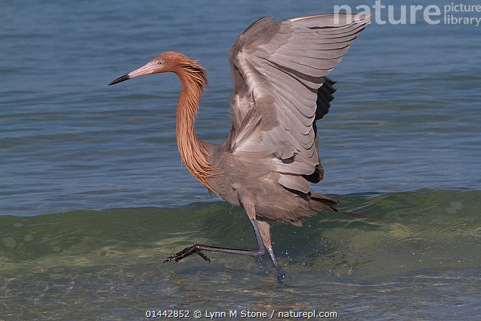 Reddish Egret (Egretta rufescens) chasing small marine fish at surf's edge, Tampa Bay, Pinellas County, Florida, USA, ANIMALIA,ANIMAL,VERTEBRATE,AVES,BIRDS,PELECANIFORMES,ARDEIDAE,EGRETTA,TRUE EGRET,EGRETTA RUFESCENS,REDDISH EGRET,1 ANIMAL,THE AMERICAS,AMERICAS,NORTH AMERICA,USA,AMERICA,THE UNITED STATES,THE US,U.S.A.,UNITED STATES,UNITED STATES OF AMERICA,US STATES,AMERICAN STATE,AMERICAN STATES,US STATE,SOUTHERN USA,SOUTHEAST US,FLORIDA,PROFILE,PROFILE VIEW,PROFILES,HORIZONTAL,CREATURE,CREATURES,WING,WINGS,COASTLINE,COASTLINES,BEACH,BEACHES,SEASHORE,SEASIDE,SEASIDES,SHORE,SHORELINE,SHORELINES,SHORES,COAST,COASTAL,ANIMAL,VERTEBRATE,BIRDS,TRUE EGRET,REDDISH EGRET, Lynn M Stone