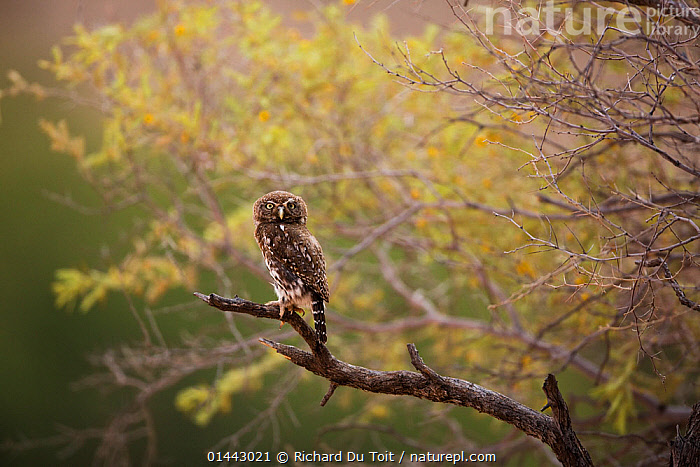 Pearlspotted Owl (Glaucidium perlatum) on branch, Kgalagadi, South Africa  ,  catalogue6,Animal,Vertebrate,Birds,Owl,True owl,Pygmy owl,Pearl spotted owlet,Animalia,Animal,Vertebrate,Aves,Birds,Strigiformes,Owl,Strigidae,True owl,Glaucidium,Pygmy owl,Glaucidium perlatum,Pearl spotted owlet,Waiting,Alertness,Alert,Suspicion,No One,Nobody,Africa,Southern Africa,South Africa,Copy Space,Horizontal,Plant,Branch,Branches,Tree,Outdoors,Open Air,Outside,Day,Habitat,Direct Gaze,South African  ,  Richard Du Toit