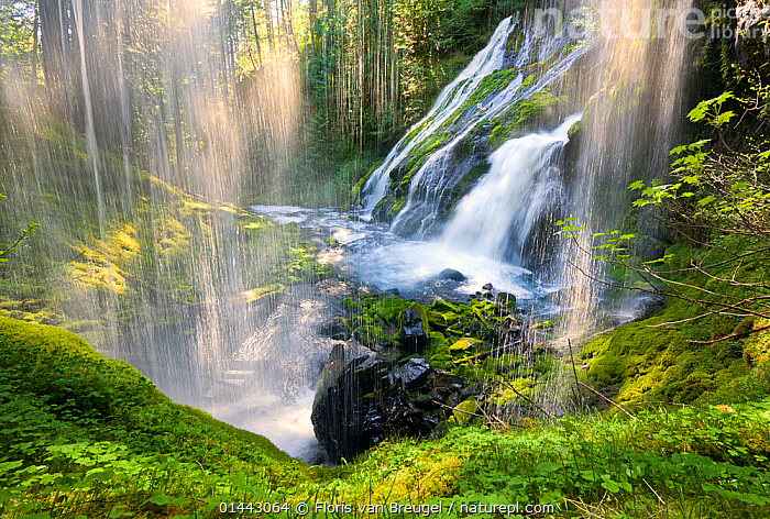 A beautiful waterfall sparkles in the warm sunlight on the first warm day of spring in Gifford Pinchot National Forest. Washington, May  ,  PLANTAE,PLANT,BRYOPHYTA,BRYOPHYTE,THE AMERICAS,AMERICAS,NORTH AMERICA,USA,AMERICA,THE UNITED STATES,THE US,U.S.A.,UNITED STATES,UNITED STATES OF AMERICA,US STATES,AMERICAN STATE,AMERICAN STATES,US STATE,WESTERN USA,WASHINGTON,HORIZONTAL,FLOWING WATER,FLUVIAL,WATERFALL,CASCADE,CASCADES,WATERFALLS,RIVER,RIVERS,FOREST,FRESHWATER,WATER,PLANT,BRYOPHYTE,Plants  ,  Floris van Breugel