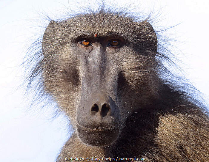 Chacma baboon (Papio hamadryas ursinus) portrait of adult male. deHoop Nature reserve. Western Cape, South Africa.  ,  catalogue6,Animal,Vertebrate,Mammal,Monkey,Baboon,Chacma baboon,Animalia,Animal,Wildlife,Vertebrate,Chordate,Mammalia,Mammal,Primate,Primates,Cercopithecidae,Monkey,Old World Monkeys,Papio,Baboon,Papionini,Papio ursinus,Chacma baboon,Bizarre,Confronting,Confronts,No One,Nobody,Africa,Southern Africa,South Africa,Horizontal,Close Up,Portrait,Male Animal,Animal Body Part,Animal Nose,Animal Noses,Nose,Noses,Hair,Fur,Brown Eyes,Brown Eye,Outdoors,Open Air,Outside,Day,Nature,Natural,Natural World,Nature Reserve,Reserve,Cape floristic region,Biodiversity hotspots,Biodiversity hotspot,Direct Gaze,South African,Confrontational,Mammals  ,  Tony Phelps