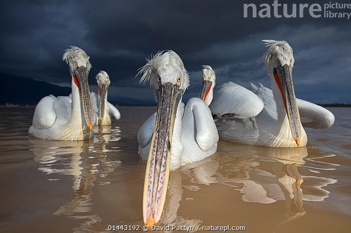 Dalmatian Pelican (Pelecanus crispus) group of pelicans with dark storm clouds approaching, Lake Kerkini, Greece, February, catalogue6,Animal,Vertebrate,Birds,Pelican,Dalmatian pelican,Animalia,Animal,Wildlife,Vertebrate,Chordate,Aves,Birds,Pelecaniformes,Pelecanidae,Pelican,Pelecanus,Pelecanus crispus,Dalmatian pelican,Approaching,Approach,Approaches,Approachs,Bizarre,Curiosity,Group,Group Of People,Small Group Of People,Few,5 People,No One,Nobody,Dark,Darkness,Length,Long,Lengthy,Europe,Southern Europe,South Europe,Greece,Horizontal,Close Up,Front View,View From Front,Beak,Beaks,Sky,Cloud,Storm Cloud,Outdoors,Open Air,Outside,Day,Freshwater,Lake,Direct Gaze,Lake Kerkini,Seabird,Seabirds,Marine bird,Marine birds,Pelagic bird,Pelagic birds,Endangered species,threatened,Vulnerable,,Personal Point of View,, David  Pattyn