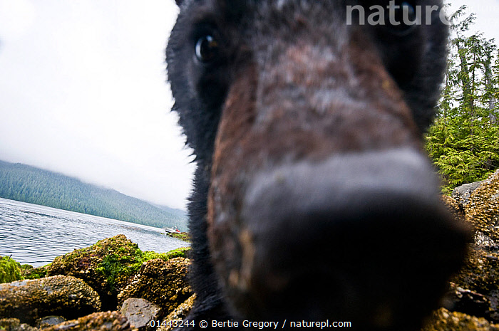 Vancouver island black bear (Ursus americanus vancouveri) investigating remote camera, Vancouver Island, British Columbia, Canada, August., catalogue7,Animal,Vertebrate,Mammal,Carnivore,Bear,Black bear,Vancouver Island black bear,Animalia,Animal,Wildlife,Vertebrate,Mammalia,Mammal,Carnivora,Carnivore,Ursidae,Bear,Ursus,Ursus americanus,Black bear,Euarctos americanus,Curiosity,Nosy,Nosey,Colour,Brown,Nobody,North America,Canada,British Columbia,Image Manipulation,Distorted,Distort,Distorting,Close Up,Low Angle View,Unusual Angle,Animal Nose,Animal Noses,Nose,Noses,Outdoors,Open Air,Outside,Day,Freshwater,Lake,Water,Vancouver Island black bear,Sensory organ,Lakeside,Direct Gaze,Aware,Investigating,Vancouver Island,Brown Colour,Endangered species,threatened,Vulnerable,,Personal Point of View,,,Selfie,, Bertie Gregory