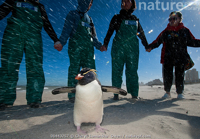 SANCCOB Hands Across the Sand event, in strong wind, to raise awareness for seabird and marine conservation, with 'Rocky' the Southern rockhopper penguin (Eudyptes chrysocome) on the beach. Table Bay, near Cape Town, South Africa. June 2010  ,  Animal,Vertebrate,Bird,Birds,Penguin,Southern rockhopper penguin,Animalia,Animal,Wildlife,Vertebrate,Aves,Bird,Birds,Sphenisciformes,Penguin,Seabird,Spheniscidae,Eudyptes,Eudyptes chrysocome,Southern rockhopper penguin,Aptenodytes chrysocome,Aptenodytes crestata,Eudyptes crestatus,Touching,Touch,People,Contrasts,Resilience,Resilient,Humorous,Imitation,Alike,Group,Group Of People,Small Group Of People,Few,4 People,Africa,Southern Africa,South Africa,Horizontal,Clothing,Outerwear,Overalls,Windy,Coastlines,Beach,Sandy Beach,Sandy Beaches,Light,Lights,Sunlight,Sands,Weather,Snowing,Snowfall,Coast,Marine,Coastal,Water,Conservation,Saltwater,Cape floristic region,Biodiversity hotspots,Biodiversity hotspot,South African,Table Bay,Raising Awareness,Marine bird,Marine birds,Pelagic bird,Pelagic birds,Flightless,Endangered species,threatened,Vulnerable  ,  Cheryl-Samantha  Owen