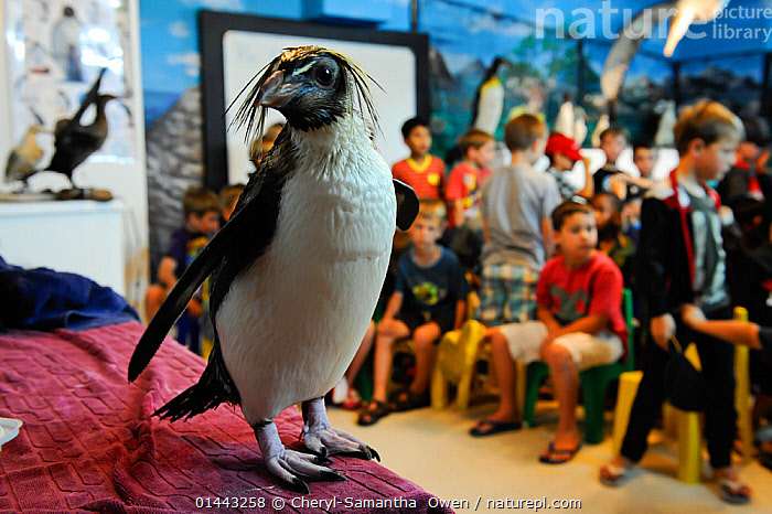 SANCCOB Conservation and seabird education, Cape Town, South Africa. Weston Barwise uses 'Rocky' a Southern rockhopper penguin (Eudyptes chrysocome), to help him teach children about seabirds and marine conservation. November 2011  ,  Animal,Vertebrate,Bird,Birds,Penguin,Southern rockhopper penguin,Animalia,Animal,Wildlife,Vertebrate,Aves,Bird,Birds,Sphenisciformes,Penguin,Seabird,Spheniscidae,Eudyptes,Eudyptes chrysocome,Southern rockhopper penguin,Aptenodytes chrysocome,Aptenodytes crestata,Eudyptes crestatus,Standing,People,Child,Person In Education,Student,School Child,Schoolchild,Schoolboy,School Boy,School Boys,Schoolboys,Humorous,Tame,Docile,Inside,Group Of People,Africa,Southern Africa,South Africa,Horizontal,Close Up,Portrait,Camera Focus,Selective Focus,Focus On Background,Focus On Backgrounds,Building,Education Building,School,Classroom,Day,Education,Educational,Marine,Water,Conservation,Saltwater,Cape floristic region,Biodiversity hotspots,Biodiversity hotspot,Shallow depth of field,Low depth of field,South African,Marine bird,Marine birds,Pelagic bird,Pelagic birds,Flightless,Endangered species,threatened,Vulnerable  ,  Cheryl-Samantha  Owen