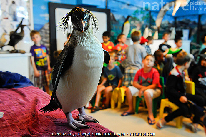 SANCCOB Conservation and seabird education, Cape Town, South Africa. Weston Barwise uses 'Rocky' a Southern rockhopper penguin (Eudyptes chrysocome), to help him teach children about seabirds and marine conservation. November 2011, Animal,Vertebrate,Bird,Birds,Penguin,Southern rockhopper penguin,Animalia,Animal,Wildlife,Vertebrate,Aves,Bird,Birds,Sphenisciformes,Penguin,Seabird,Spheniscidae,Eudyptes,Eudyptes chrysocome,Southern rockhopper penguin,Aptenodytes chrysocome,Aptenodytes crestata,Eudyptes crestatus,Sitting,People,Child,Only Boys,Person In Education,Student,School Child,Schoolchild,Incidental People,Incidental Person,People In The Background,Background People,Background Person,People In Background,Person In Background,Tame,Docile,Group Of People,Speech,Presentation,Africa,Southern Africa,South Africa,Horizontal,Close Up,Front View,View From Front,Portrait,Camera Focus,Selective Focus,Focus On Foreground,Focus On Foregrounds,Building,Education Building,School,Classroom,Indoors,Education,Educational,Conservation,Cape floristic region,Biodiversity hotspots,Biodiversity hotspot,Shallow depth of field,Low depth of field,South African,Marine bird,Marine birds,Pelagic bird,Pelagic birds,Flightless,Endangered species,threatened,Vulnerable, Cheryl-Samantha  Owen