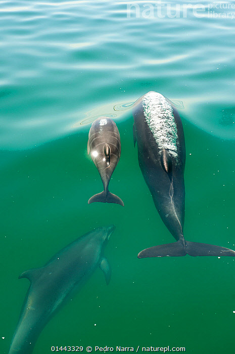 Bottlenose Dolphin (Tursiops truncatus) family swimming near the surface, Sado Estuary, Portugal, catalogue6,Animal,Vertebrate,Mammal,Ceteacean,Oceanic dolphin,Bottle nose dolphins,Bottle nosed Dolphin,Animalia,Animal,Wildlife,Vertebrate,Chordate,Mammalia,Mammal,Cetacea,Ceteacean,Delphinidae,Oceanic dolphin,Dolphin,Odontoceti,Tursiops,Bottle nose dolphins,Tursiops truncatus,Bottle nosed Dolphin,Bottlenosed Dolphin,Bottlenose Dolphin,Common Bottlenose Dolphin,Swimming,Teaching,Teach,Cute,Adorable,Imitation,Alike,Loyalty,Loyal,Partnership,Colour,Blue,Turquoise,Aqua,Aqua Blue,Torquoise,Side By Side,Two,No One,Nobody,Europe,Southern Europe,South Europe,Iberian Peninsula,Portugal,Vertical,High Angle View,Rear View,Back,From Behind,Young Animal,Juvenile,Babies,Baby Mammal,Baby Mammals,Calf,Female animal,Ocean,Atlantic Ocean,Outdoors,Open Air,Outside,Day,Marine,Water Surface,Temperate,Family,Mother baby,Saltwater,Mother baby,mother,Mediterranean Basin,Mediterranean,Biodiveristy hotspot,Biodiversity hotspots,Young,Elevated view,Baby,Two animals,Parent baby,Surface,Sado Estuary,Marine, Pedro  Narra