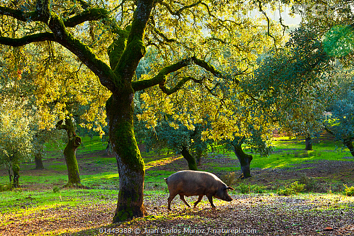 Iberian black pig foraging in oak woodland, Sierra de Aracena Natural Park, Huelva, Andalucia, Spain, Europe. Breed used to produce Iberico ham / Jamon Iberico  ,  ANDALUCIA,EUROPE,FAUNA,HUELVA,IBERIAN PIG - CERDO IBERICO,MAMMALS,SIERRA DE ARACENA,SPAIN high1314,Plant,Vascular plant,Flowering plant,Rosid,Oak,Holm oak tree,Plantae,Plant,Tracheophyta,Vascular plant,Magnoliopsida,Flowering plant,Angiosperm,Seed plant,Spermatophyte,Spermatophytina,Angiospermae,Fagales,Rosid,Dicot,Dicotyledon,Rosanae,Fagaceae,Quercus,Oak,Oak tree,Quercus ilex,Holm oak tree,Holly oak,Quercus variifolia,Quercus sempervirens,Quercus fagifolia,Foraging,Alone,Solitude,Solitary,Below,Beneath,Under,Underneath,Nobody,Europe,Southern Europe,Iberian Peninsula,Spain,Andalusia,Profile,Horizontal,Side View,Animal,Leaf,Foliage,Tree,Light,Lights,Sunlight,Outdoors,Open Air,Outside,Day,Urban Scene,Cityscape,Livestock,Woodland,Domestic animal,Forest,Domestic Pig,Iberian,Sus scrofa domestica,Fallen Leaves,Huelva  ,  Juan  Carlos Munoz