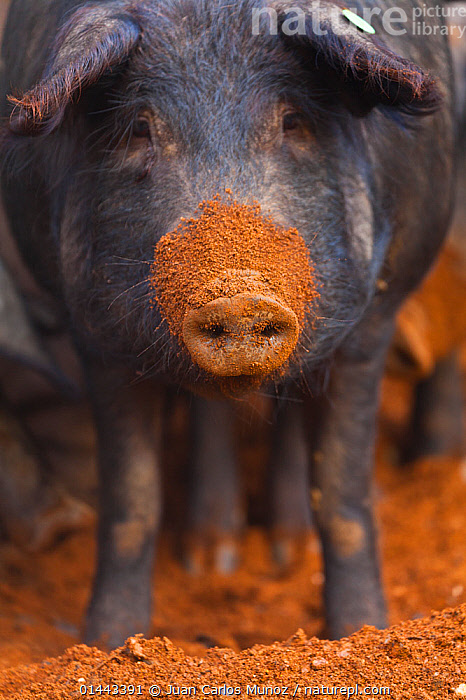 Iberian pig with mud covered snout, Sierra de Aracena Natural Park, Huelva, Andalucia, Spain, Europe. Breed used to produce Iberico ham / Jamon Iberico  ,  EUROPE,SOUTHERN EUROPE,SOUTH EUROPE,IBERIAN PENINSULA,SPAIN,ANDALUSIA,VERTICAL,PORTRAIT,PORTRAITS,ANIMAL,ANIMAL NOSES,NASAL,NOSE,NOSES,SNOUT,SNOUTS,MUDDY,FARM ANIMAL,FARM ANIMALS,DOMESTIC ANIMAL,DOMESTIC ANIMALS,DOMESTICATED,SUS SCROFA DOMESTICA  ,  Juan  Carlos Munoz