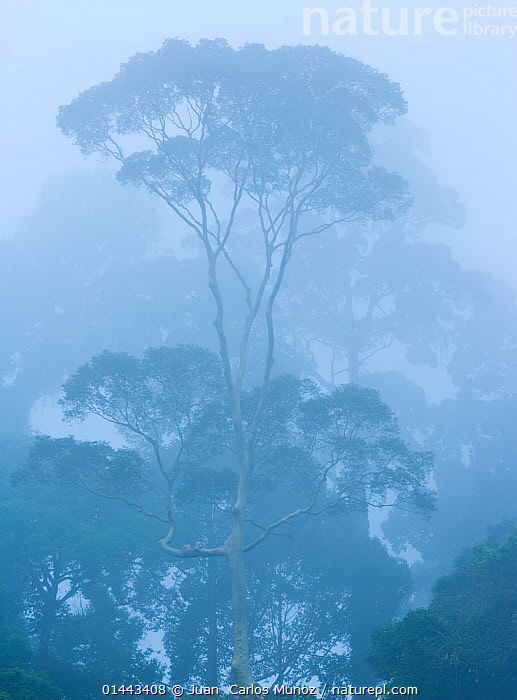 View of tropical rainforest trees shrouded in mist, Danum Valley Conservation Area, Borneo, Malaysia.  ,  catalogue6,Atmospheric Mood,Atmospheric,Growth,Grow,Growing,Grows,No One,Nobody,Asia,East Asia,South East Asia,Vertical,Plant,Tree,Weather,Mist,Outdoors,Open Air,Outside,Day,Nature,Natural,Natural World,Woodland,Rainforest,Tropical rainforest,Bad Weather,Forest,Borneo island,Borneo,Biodiversity hotspots,Biodiversity hotspot,Severe weather,Low visibility,Danum Valley,Conservation Area,Concepts  ,  Juan  Carlos Munoz