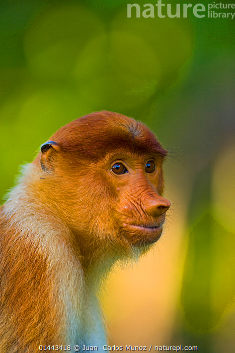 Proboscis monkey (Nasalis larvatus), Sabah Malaysia, Borneo., AFRICA,ASIA,BORNEO,FAUNA,KENIA,MALAYSIA,MAMMALS,PRIMATES,PROBOSCIS MONKEY   MONO NARIGUDO,RD 225,REPORTAJES RD*FAUNA,SABAH,catalogue6,Animal,Vertebrate,Mammal,Monkey,Proboscis Monkey,Long nosed Monkey,Animalia,Animal,Wildlife,Vertebrate,Chordate,Mammalia,Mammal,Primate,Primates,Cercopithecidae,Monkey,Old World Monkeys,Nasalis,Proboscis Monkey,Nasalis larvatus,Long nosed Monkey,Glance,Glances,Glancing,Look Away,Looks Away,Bizarre,Curiosity,Colour,Brown,No One,Nobody,Asia,East Asia,South East Asia,Malaysia,Profile,Vertical,Close Up,Side View,Portrait,Tree,Mangrove Tree,Mangrove,Mangrove Trees,Mangroves,Animal Nose,Animal Noses,Nose,Noses,Hair,Fur,Brown Eyes,Brown Eye,Coastlines,Coast,Coastal Wetland,Coastal,Borneo island,Borneo,Biodiversity hotspots,Biodiversity hotspot,Sabah,Endangered species,threatened,Endangered, Juan  Carlos Munoz