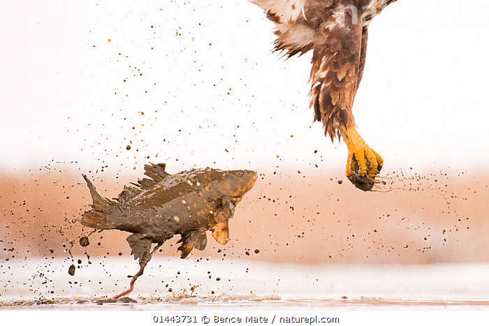 White-tailed Eagle (Haliaeetus albicilla) with muddy fish slipping from its claws as it flies up from the water. Hungary. Highly commended in the Birds category, GDT Competition 2013  ,  catalogue6,Animal,Vertebrate,Ray finned fish,Birds,Sea eagle,White tailed sea eagle,Animalia,Animal,Wildlife,Vertebrate,Chordate,Actinopterygii,Ray finned fish,Osteichthyes,Bony fish,Fish,Aves,Birds,Accipitriformes,Accipitridae,Haliaeetus,Sea eagle,Eagle,Bird of prey,Raptor,Haliaeetus albicilla,White tailed sea eagle,White tailed eagle,Flying,Splashing,Escape,Escapes,Escaping,On The Move,No One,Nobody,Part Of,Europe,Eastern Europe,East Europe,Hungary,Close Up,Animal Body Part,Claw,Claws,Pincers,Talon,Talons,Soil,Dirt,Soils,Mud,Muddy,Outdoors,Open Air,Outside,Day,Animal Behaviour,Predation,Hunting,Behaviour,Flight,Moving  ,  Bence Mate