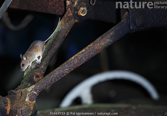 Wood mouse (Apodemus sylvaticus) inside an old car, Bastnas, Sweden, February. Winner of the Fritz Polking Prize at the GDT competition 2013 and winner of the Portfolio category in the Melvita Nature Images Awards competition 2014., high1314,Animal,Vertebrate,Mammal,Rodent,Eurasian field mouse,Long-tailed Field Mouse,Animalia,Animal,Vertebrate,Mammalia,Mammal,Rodentia,Rodent,Muridae,Apodemus,Eurasian field mouse,Apodemus sylvaticus,Long-tailed Field Mouse,Age,Caution,Cautious,Abandoned,Old,Rusty,Rust,Rusted,Rusting,Inside,Nobody,Size,Small,Little,Tiny,Europe,Northern Europe,North Europe,Nordic Countries,Scandinavia,Sweden,Norway,Horizontal,Close Up,Side View,Junkyard,Mode of transport,Land Vehicle,Motor Vehicle,Cars,Part Of Vehicle,Steering Wheel,Steering Wheels,Outdoors,Open Air,Outside,Night,Environment,Environmental Issues,Exploration,Nature,Natural,Natural World,Wildlife,Wild,Ageing Process,Bastnas, Pal Hermansen