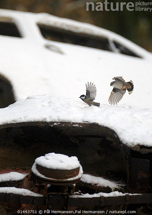 Nuthatch (Sitta europaea) chasing away and Black tit (Periparus ater)  in car graveyard, Varmland, Sweden, December, Abandoned,Aggravating,Aggression,Animal,Animal Behaviour,Animalia,Annoy,Annoyed,Annoying,Aves,Behaviour,Birds,Car,Cars,catalogue6,Chordate,Coal tit,Common nuthatch,Communication,Day,Environment,Environmental Issues,Escape,Escapes,Escaping,Eurasian nuthatch,Europe,European nuthatch,Flight,Flying,Follow,Following,Follows,Gtaland,Land Vehicle,Mode Of Transport,Motor Vehicle,Moving,Moving After,Nature Reclamation,Nature taking over,No One,Nobody,Nordic Countries,North Europe,Northern Europe,Nuthatch,Old,On The Move,Open Air,Outdoors,Outside,Paridae,Parus ater,Passeriformes,Passerine,Periparus,Periparus ater,Play,Playful,Playing,Rust,Rusted,Rusting,Rusty,Scandinavia,Season,Seasons,Sitta,Sitta europaea,Sittidae,Snow,Songbird,Sweden,Territorial,Tit,Two,Two animals,Varmland,Vertebrate,Vertical,Vrmland,Wildlife,Winter,Wood nuthatch, Pål Hermansen,Pal Hermansen