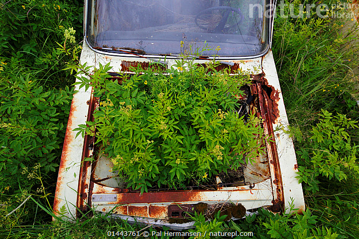 Dropwort (Filipendula vulgaris) growing in the boot of an old abandoned car in 'car graveyard', Bastnas, Sweden, July. Winner of the Portfolio category in the Melvita Nature Images Awards competition 2014., catalogue6,Plant,Vascular plant,Flowering plant,Rosid,Queen,Dropwort,Plantae,Plant,Tracheophyta,Vascular plant,Magnoliopsida,Flowering plant,Rosales,Rosid,Rosaceae,Filipendula,Queen,Filipendula vulgaris,Dropwort,Age,Growth,Grow,Growing,Grows,Abandoned,Old,Rusty,Rust,Rusted,Rusting,No One,Nobody,Overgrown,Europe,Northern Europe,North Europe,Nordic Countries,Scandinavia,Sweden,Horizontal,Close Up,Mode Of Transport,Land Vehicle,Motor Vehicle,Car,Cars,Part Of Vehicle,Vehicle Window,Car Window,Windshield,Outdoors,Open Air,Outside,Day,Environment,Environmental Issues,Nature taking over,Ageing Process,Bastnas,Concepts,Nature Reclamation, Nature taking over,,Nature reclamation, Pal Hermansen