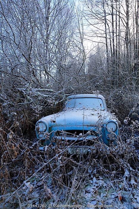 Old abandoned car in 'car graveyard' surrounded by trees in winter, Bastnas, Sweden, December, catalogue6,Age,Out Of Context,Obsolescence,Junk,Obsolete,Abandoned,Old,Rusty,Rust,Rusted,Rusting,No One,Nobody,Temperature,Cold,Chill,Chilly,Europe,Northern Europe,North Europe,Nordic Countries,Scandinavia,Sweden,Vertical,Plant,Tree,Bare Tree,Bare Trees,Mode of transport,Land Vehicle,Motor Vehicle,Car,Cars,Weather,Frost,Outdoors,Open Air,Outside,Season,Seasons,Winter,Day,Environment,Environmental Issues,Woodland,Cold Weather,Forest,Ageing Process,One Object,Wasteful,Bastnas,Nature Reclamation, Nature taking over,,Nature reclamation, Pal Hermansen