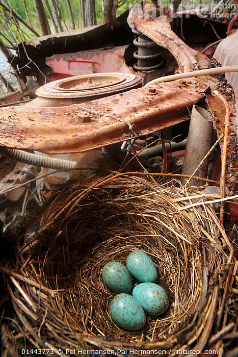 Blackbird (Turdus merula) nest with eggs in motor of abandoned car in 'car graveyard' Varmland, Sweden, May, Abandoned,Animal,Animal Eggs,Animalia,Aqua,Aqua Blue,Aves,Birds,Blackbird,Blue,Car,Cars,catalogue6,Close Up,Colour,Egg,Eggs,Environment,Environmental Issues,Europe,Few,Four,Four Objects,Group,Gtaland,Land Vehicle,Metal,Metalic,Metallic,Metals,Mode Of Transport,Motor Vehicle,Nature Reclamation,Nature taking over,Nest,Nests,No One,Nobody,Nordic Countries,North Europe,Northern Europe,Old,Passeriformes,Rust,Rusted,Rusting,Rusty,Scandinavia,Songbird,Sweden,Thrush,Torquoise,True thrush,Turdidae,Turdus,Turdus merula,Turquoise,Varmland,Vertebrate,Vertical,Vrmland, Pal Hermansen,Pal Hermansen