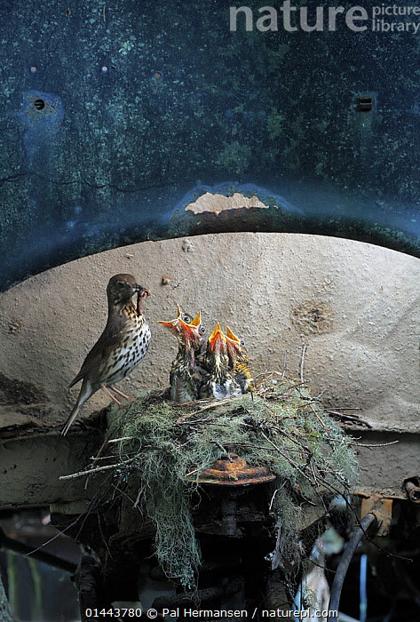 Song thrush (Turdus philomelos) feeding chicks at nest in old abandoned car, in a 'car graveyard' Varmland, Sweden, catalogue6,Animal,Vertebrate,Birds,Songbird,Thrush,True thrush,Song thrush,Animalia,Animal,Vertebrate,Aves,Birds,Passeriformes,Songbird,Turdidae,Thrush,Turdus,True thrush,Turdus philomelos,Song thrush,Abandoned,Hunger,Appetite,Hungry,Old,Rusty,Rust,Rusted,Rusting,Group,Medium Group,No One,Nobody,Europe,Northern Europe,North Europe,Nordic Countries,Scandinavia,Sweden,Vertical,Close Up,Young Animal,Juvenile,Babies,Chick,Mouth,Mode Of Transport,Land Vehicle,Motor Vehicle,Car,Cars,Nest,Nests,Vehicle Interior,Vehicle Interiors,Environment,Environmental Issues,Animal Behaviour,Feeding,Parental behaviour,Feeding young,Behaviour,Young,Parental,Nature taking over,Baby,Five animals,Open Mouth,Holding in mouth,Concepts,Nature Reclamation, Nature taking over,,Nature reclamation, Pal Hermansen