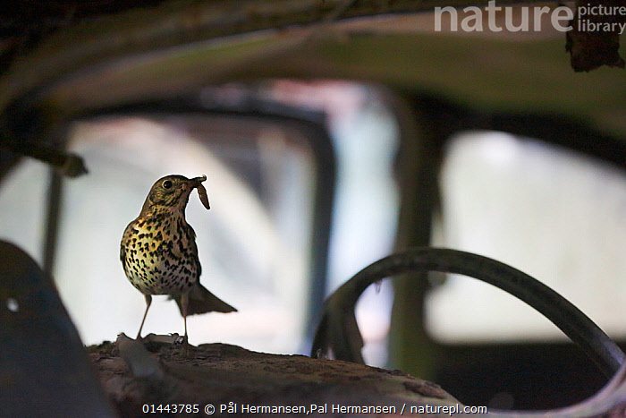 Song thrush (Turdus philomelos) with grub prey on the dashboard of an abandoned car in 'car graveyard' Varmland, Sweden, July  ,  Abandoned,Alert,Alertness,Animal,Animal Behaviour,Animalia,Aves,Behaviour,Birds,Car,Car Window,Cars,catalogue6,Close Up,Dashboard,Dashboards,Day,Environment,Environmental Issues,Europe,Feeding,Glance,Glances,Glancing,Gtaland,Holding in mouth,Horizontal,Land Vehicle,Look Away,Looks Away,Mode Of Transport,Motor Vehicle,Nature Reclamation,Nature taking over,No One,Nobody,Nordic Countries,North Europe,Northern Europe,Old,Open Air,Outdoors,Outside,Part Of Vehicle,Passeriformes,Rust,Rusted,Rusting,Rusty,Scandinavia,Song thrush,Songbird,Steering Wheel,Steering Wheels,Sweden,Thrush,True thrush,Turdidae,Turdus,Turdus philomelos,Varmland,Vehicle Interior,Vehicle Interiors,Vehicle Window,Vertebrate,Vrmland,Windshield  ,  Pål Hermansen,Pal Hermansen