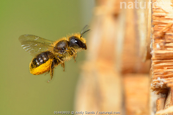 Female Blue mason bee (Osmia caerulescens) carrying pollen on its abdominal scopa (pollen carrying hairs) to a nest cell in an insect box, Hertfordshire, England, June., ANIMALIA,HEXAPODA,INSECTA,HYMENOPTERA,MEGACHILIDAE,OSMIA,MASON BEE,FLYING,AIRBORNE,FLIGHT,IN FLIGHT,MID AIR,EUROPE,WESTERN EUROPE,WEST EUROPE,UK,BRITAIN,GREAT BRITAIN,UNITED KINGDOM,ENGLAND,HERTFORDSHIRE,PROFILE,PROFILE VIEW,PROFILES,ANIMAL,PLANTS,POLLEN,GROUNDS,GROUND,GARDEN,GARDENS,ANIMAL BEHAVIOUR,NESTING BEHAVIOUR,NEST BUILDING,POLLINATION,BEHAVIOUR,MASON BEE, Andy Sands