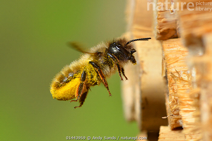 Female red mason bee (Osmia rufa) carrying pollen on its abdominal scopa (pollen carrying hairs) to a nest cell in an insect box, Hertfordshire, England, June., ANIMALIA,ANIMAL,WILDLIFE,HEXAPODA,ARTHROPOD,INVERTEBRATE,HEXAPOD,ARTHROPODA,INSECTA,INSECT,HYMENOPTERA,HYMENOPTERANS,MEGACHILIDAE,LEAF CUTTING BEE,BEE,APOCRITA,OSMIA,MASON BEE,OSMIA RUFA,RED MASON BEE,APIS RUFA,OSMIA BICORNIS,OSMIA XANTHOGNATHA,FLYING,AIRBORNE,FLIGHT,IN FLIGHT,MID AIR,PROFILE,PROFILE VIEW,PROFILES,FEMALE ANIMAL,FEMALE,FEMALES,FEMALE ANIMALS,PLANTS,VEGETATION,POLLEN,GROUNDS,GROUND,GARDEN,GARDENS,ANIMAL BEHAVIOUR,POLLINATION,BEHAVIOUR,ANIMAL,ARTHROPOD,INSECT,LEAF CUTTING BEE,MASON BEE,RED MASON BEE,Europe, Andy Sands