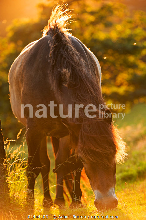 Exmoor National Park pony grazing in the evening summer sunshine at Valley of Rocks, Exmoor National Park, Devon. July 2012.  ,  catalogue6,Equus ferus caballus,Equus caballus,No One,Nobody,Europe,Western Europe,UK,Great Britain,England,Devon,Vertical,Close Up,Front View,View From Front,Animal,Light,Lights,Sunlight,Sunset,Setting Sun,Sunsets,Animal Behaviour,Feeding,Grazing,Reserve,Domestic animal,Domestic Horse,Behaviour,Pony,Exmoor pony,Domestic animals,Domesticated,Equus ferus caballus,Equus caballus,Protected area,National Park,Horse,Exmoor National Park,United Kingdom  ,  Adam  Burton