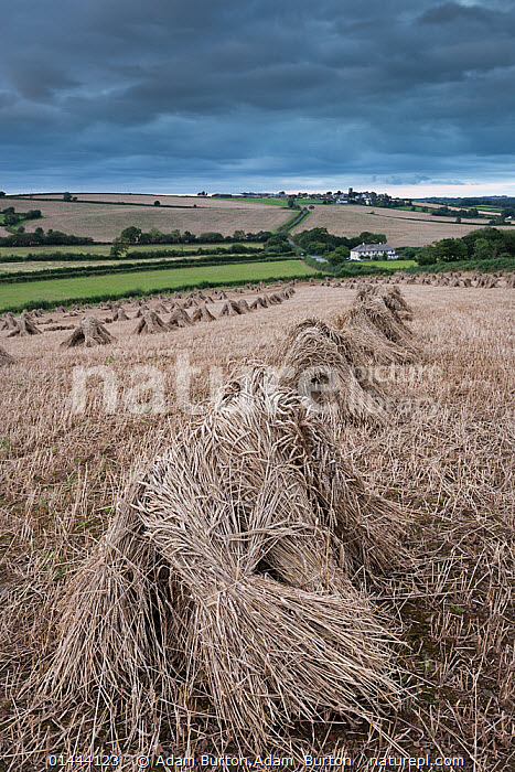 Traditional wheat stooks harvested for thatching, Coldridge, Devon, England. August 2012.  ,  catalogue6,Mood,Ominous,Foreboding,No One,Nobody,Europe,Western Europe,UK,Great Britain,England,Devon,Vertical,Arable Plant,Arable Plants,Crops,Produce,Food,Foods,Food Staple,Basic Food,Food Staples,Grain,Grains,Wheat,Farms,Cultivated Land,Fields,Hill,Hills,Hillside,Hillsides,Sky,Cloud,Landscape,Landscapes,Outdoors,Open Air,Outside,Day,Farmland,Traditional Craft,Thatching,United Kingdom  ,  Adam Burton,Adam  Burton