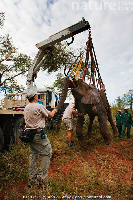 Wild elephant bull (Loxodonta africana), hoisted into position by crane for vasectomy operation in bush by the Elephant Population Management Program team with Dr Jeff Zuba, senior associate veterinarian with the San Diego Zoological Society holding elephant's trunk. Private game reserve in Limpopo, South Africa. April 2011, catalogue6,Animal,Vertebrate,Mammal,Elephant,African elephants,African elephant,Animalia,Animal,Wildlife,Vertebrate,Chordate,Mammalia,Mammal,Proboscidea,Elephantidae,Elephant,Loxodonta,African elephants,Loxodonta africana,African elephant,Lifting,Picking Up,Picks Up,Raising,People,African Descent,European Descent,Caucasian Ethnicity,Male,Man,Only Men,Occupation,Animal Related Occupation,Veterinary Surgeon,Adversity,Difficult,Difficulty,Help,Group,Group Of People,Small Group Of People,Few,4 People,Weight,Heavy,Heaviness,Africa,Southern Africa,South Africa,Vertical,Male Animal,Object,Equipment,Construction Equipment,Construction Machinery,Industrial Crane,Industrial Cranes,Medical Equipment,Medical Tool,Medical Tools,Medical Supplies,Medicine,Anesthetic,Anaesthetics,Anesthetics,Pulley,Pulleys,Outdoors,Open Air,Outside,Day,Reserve,Conservation,Veterinary Procedure,Operation,Surgery,Vasectomy,Protected area,South African,Animal Care,Game reserve,Awkward,Limpopo,Endangered species,threatened,Endangered, Ann  & Steve Toon