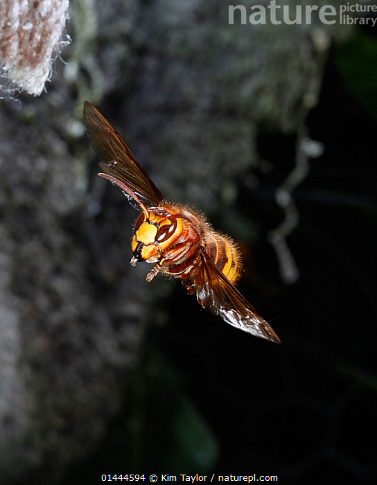 European Hornet (Vespa crabro) queen approaching nest. Surrey, England, May  ,  catalogue6,Animal,Arthropod,Insect,Wasp,Hornet,European hornet,Animalia,Animal,Wildlife,Hexapoda,Arthropod,Invertebrate,Hexapod,Arthropoda,Insecta,Insect,Hymenoptera,Hymenopterans,Vespidae,Wasp,Hunting wasp,Vespoid wasp,Vespa,Hornet,Social wasp,Vespa crabro,European hornet,Vespa major,Vespa vexator,Vespa borealis,Approaching,Approach,Approaches,Approachs,Flying,Confidence,Majestic,On The Move,Colour,Yellow,Mid Air,No One,Nobody,Europe,Western Europe,UK,Great Britain,England,Surrey,Vertical,Nest,Nests,Outdoors,Open Air,Outside,Day,Castes,Queen,Queen bee,Gyne,Flight,Moving,Regal,United Kingdom  ,  Kim Taylor
