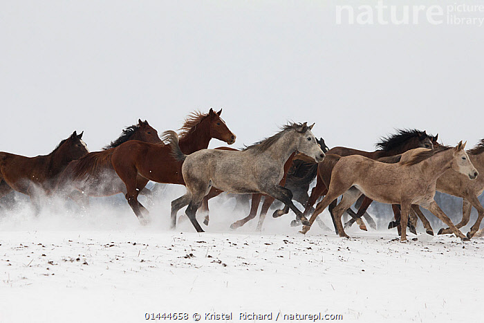 A group of Pure Arab, Shagya Arab and East Bulgarian fillies running in snow, Kabiuk National Stud, Shumen, Bulgaria.  ,  catalogue6,Equus ferus caballus,Equus caballus,Galloping,Gallop,Gallops,Moving After,Following,Follow,Follows,Running,Direction,Motion,Active,Movement,On The Move,Arrangement,Variation,Colour,Brown,White,Herds,Group,Medium Group,No One,Nobody,Europe,Eastern Europe,East Europe,Bulgaria,Copy Space,Horizontal,Side View,Animal,Fillies,Female animal,Mare,Mares,Snow,Outdoors,Open Air,Outside,Season,Seasons,Winter,Day,Animal Behaviour,Domestic animal,Domestic Horse,Behaviour,Arabian horse,East Bulgarian,Shagya Arabian,Domestic animals,Domesticated,Equus ferus caballus,Equus caballus,Horse,Medium group of animals,Negative space,Moving,White colour,Kabiuk National Stud,Shumen  ,  Kristel  Richard