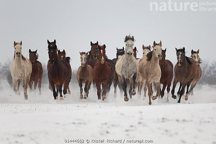A group of Pure Arab, Shagya Arab and East Bulgarian fillies running in snow, Kabiuk National Stud, Shumen, Bulgaria.  ,  catalogue6,Equus ferus caballus,Equus caballus,Galloping,Gallop,Gallops,Running,Energetic,Dynamic,Dynamism,Speed,Strength,Togetherness,Close,Together,Unity,Urgency,Colour,Brown,White,Herds,Many,Group,Large Group,No One,Nobody,Europe,Eastern Europe,East Europe,Bulgaria,Horizontal,Front View,View From Front,Animal,Fillies,Female animal,Snow,Outdoors,Open Air,Outside,Season,Seasons,Winter,Day,Animal Behaviour,Domestic animal,Domestic Horse,Behaviour,Arabian horse,East Bulgarian,Shagya Arabian,Domestic animals,Domesticated,Equus ferus caballus,Equus caballus,Horse,White colour,Energy,Hurrying,Kabiuk National Stud,Shumen,,Rebel,  ,  Kristel  Richard
