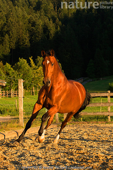 An Einsiedler / Swiss warmblood mare (Equus caballus) cantering, Schwyz, Switzerland, July.  ,  catalogue6,Equus ferus caballus,Equus caballus,Galloping,Canter,Cantering,Canters,Gallop,Gallops,Running,Leaning,Lean,Excitement,Eagerness,Enthusiasm,Enthusiastic,Excited,Speed,Colour,Brown,No One,Nobody,Shiny,Europe,Western Europe,Switzerland,Full Length,Full Lengths,Whole,Front View,View From Front,Animal,Female animal,Mare,Mares,Paddocks,Light,Lights,Sunlight,Countryside,Outdoors,Open Air,Outside,Day,Woodland,Animal Behaviour,Domestic animal,Domestic Horse,Forest,Behaviour,Swiss Warmblood,Domestic animals,Domesticated,Equus ferus caballus,Equus caballus,Horse,Schwyz  ,  Kristel  Richard