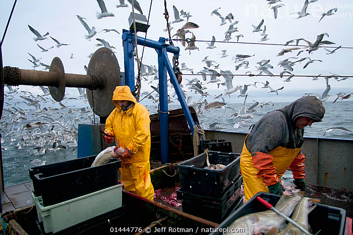 Fishermen clean Atlantic Cod (Gadus morhua) on deck of fishing trawler, with herring gulls (Larus argentatus) flocking in the background. Stellwagen Banks, New England, United States, North Atlantic Ocean Model released.  ,  catalogue6,Animal,Vertebrate,Ray finned fish,Cod,Atlantic cod,Birds,Gull,Larinae,Herring gull,Animalia,Animal,Wildlife,Vertebrate,Chordate,Actinopterygii,Ray finned fish,Osteichthyes,Bony fish,Fish,Gadiformes,Cod,Gadidae,Gadus,Gadus morhua,Atlantic cod,Bank cod,Berry fish,Breeder,Bul Asellus major,Gadus morhua kildinensis,Gadus callarias,Aves,Birds,Charadriiformes,Laridae,Gull,Seabird,Larus,Larinae,Larus argentatus,Herring gull,Cleaning,Working,People,Male,Man,Only Men,Occupation,Fisherman,Fishermen,Fishers,Arrangement,Catch Of Fish,Catch,Catches,Flocking,Flocks,Many,Group,Large Group,2 People,Two Person,Two Persons,Waterproof,Americas,North America,USA,Eastern USA,New England,Horizontal,Container,Containers,Box,Boxes,Crate,Crates,Boat,Boats,Fishing Boat,Fisherboat,Fisherboats,Fishing Boats,Trawler,Trawlers,Man Made Material,Plastic,Plastics,Outdoors,Open Air,Outside,Day,Fishing Industries,Marine,Working boats,Saltwater,Sea,Fisheries,Fishery,Multitude,Mass,Seagulls,On deck,Stellwagen Banks,Marine  ,  Jeff Rotman