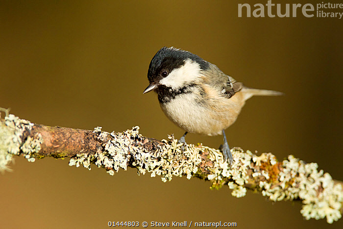 Coal tit (Parus ater britannicus) adult perched on lichen covered branch, Highland, Scotland. March.  ,  LICHENS,ANIMALIA,ANIMAL,WILDLIFE,VERTEBRATE,CHORDATE,AVES,BIRDS,,ANIMAL,VERTEBRATE,BIRDS,SONGBIRD,TIT,COAL TIT,Plants  ,  Steve Knell