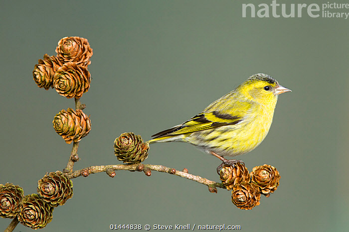 Siskin (Carduelis spinus) adult male perched on larch cone, Lancashire, England, UK. March.  ,  PLANTAE,PLANT,TRACHEOPHYTA,VASCULAR PLANT,PINOPSIDA,CONIFER,GYMN,PLANT,VASCULAR PLANT,CONIFER,LARCH TREE,ANIMAL,VERTEBRATE,BIRDS,,Europe  ,  Steve Knell