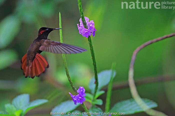 Ruby Topaz (Chrysolampis mosquitus) in flight, Trinidad, Trinidad and Tobago, April  ,  ANIMALIA,ANIMAL,WILDLIFE,VERTEBRATE,CHORDATE,AVES,BIRDS,APODIFORMES,TROCHILIDAE,HUMMINGBIRD,CHRYSOLAMPIS,CHRYSOLAMPIS MOSQUITUS,RUBY TOPAZ,RUBY TOPAZ HUMMINGBIRD,FLYING,AIRBORNE,FLIGHT,IN FLIGHT,MID AIR,HOVERING,HOVER,HOVERS,THE AMERICAS,AMERICAS,THE CARIBBEAN,CARIBBEAN,CARRIBBEAN,CARRIBEAN,TRINIDAD AND TOBAGO,TRINIDAD,HORIZONTAL,ANIMAL BEHAVIOUR,FEEDING,BEHAVIOUR,FEEDS,EATING,EATS,EAT,FEED,CARIBBEAN ISLANDS,BIODIVERSITY HOTSPOTS,BIODIVERSITY HOTSPOT,ANIMAL,VERTEBRATE,BIRDS,HUMMINGBIRD,RUBY TOPAZ,West Indies  ,  Robin Chittenden