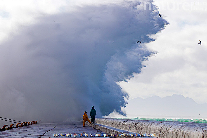 Storm waves sending spray over pier, Kalk Bay harbor, False Bay, Cape Town, South Africa.  ,  catalogue6,Animal,Vertebrate,Birds,Gull,Animalia,Animal,Wildlife,Vertebrate,Chordate,Aves,Birds,Charadriiformes,Laridae,Gull,Seabird,Standing,People,Male,Man,Only Men,Contrasts,Disbelief,Scale,Proportion,Strength,2 People,Two Person,Two Persons,Size,Small,Little,Tiny,Large,Big,Waterproof,Africa,Southern Africa,South Africa,Horizontal,Building,Pier,Jetties,Jetty,Piers,Ocean,Atlantic Ocean,Indian Ocean,Wave,Weather,Storm,Outdoors,Open Air,Outside,Day,Nature,Natural,Natural World,Power In Nature,Power,Powerful,Marine,Bad Weather,Saltwater,Sea,Cape floristic region,Biodiversity hotspots,Biodiversity hotspot,Heavy seas,Severe weather,Seagulls,Dramatic,South African,Insignificant,Concepts  ,  Chris & Monique Fallows