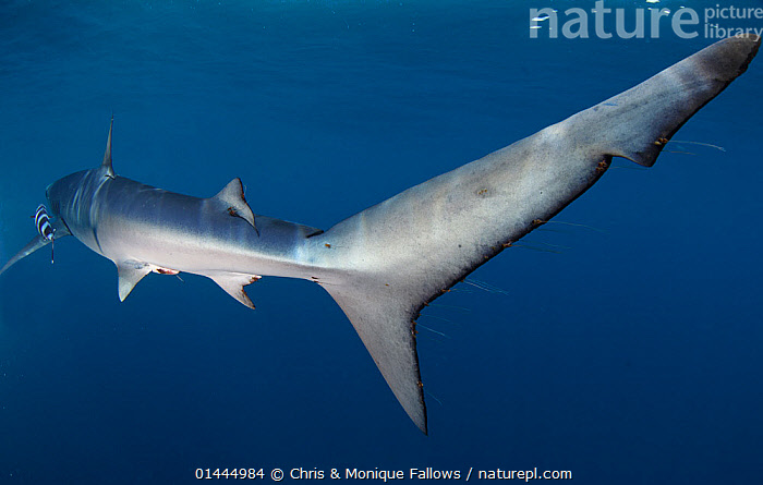 Blue Shark (Prionace glauca) tail, Cape Point, South Africa., catalogue6,Animal,Vertebrate,Cartilaginous fish,Ground shark,Requiem sharks,Great blue shark,Animalia,Animal,Wildlife,Vertebrate,Chordate,Chondrichthyes,Cartilaginous fish,Jawed fish,Cacharhiniformes,Ground shark,Carcharhinidae,Requiem sharks,Prionace,Prionace glauca,Great blue shark,Galeus thalassinus,Glyphis glaucus,Hypoprion isodus,Swimming,Waiting,Energetic,Dynamic,Dynamism,Mood,Ominous,Foreboding,Patience,Silence,Quiet,Stealth,Colour,Blue,Grey,Gray,No One,Nobody,Length,Long,Lengthy,Africa,Southern Africa,South Africa,Coloured Background,Blue Background,Horizontal,Close Up,Rear View,Back,From Behind,Tail,Ocean,Atlantic Ocean,Marine,Underwater,Temperate,Saltwater,Cape floristic region,Biodiversity hotspots,Biodiversity hotspot,South African,Energy,Cape Point,Marine, Chris & Monique Fallows