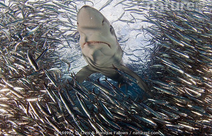 Blue Shark (Prionace glauca) feeding on Anchovy (Engraulis encrasicolus) bait ball, Cape Point, South Africa., high1314,Animal,Vertebrate,Cartilaginous fish,Ground shark,Requiem sharks,Great blue shark,Ray-finned fish,Anchovies,European Anchovy,Animalia,Animal,Wildlife,Vertebrate,Chondrichthyes,Cartilaginous fish,Jawed fish,Carcharhiniformes,Ground shark,Carcharhinidae,Requiem sharks,Prionace,Prionace glauca,Great blue shark,Galeus thalassinus,Glyphis glaucus,Hypoprion isodus,Actinopterygii,Ray-finned fish,Osteichthyes,Bony fish,Fish,Clupeiformes,Engraulidae,Anchovies,Engraulis,Engraulis encrasicolus,European Anchovy,Black Sea Anchovy,Anchovy,Clupea encrasicolus,Anchoviella guineensis,Engraulis argyrophanus,Abundance,Contrasts,Danger,Disorder,Disruption,Disturbance,On The Move,Threat,Menace,Menaces,Menacing,Threatening,Threats,Colour,School,Many,Group,Large Group,Nobody,Size,Facial Expression,Africa,Southern Africa,South Africa,Horizontal,Mouth,Ocean,Atlantic Ocean,Marine,Underwater,Water,Animal Behaviour,Feeding,Predation,Temperate,Behaviour,Saltwater,Cape floristic region,Biodiversity hotspots,Biodiversity hotspot,Ventral view,Underside,South African,Moving,Sealife,Silver Colour,Downturned Mouth,Cape Point,Marine, Chris & Monique Fallows
