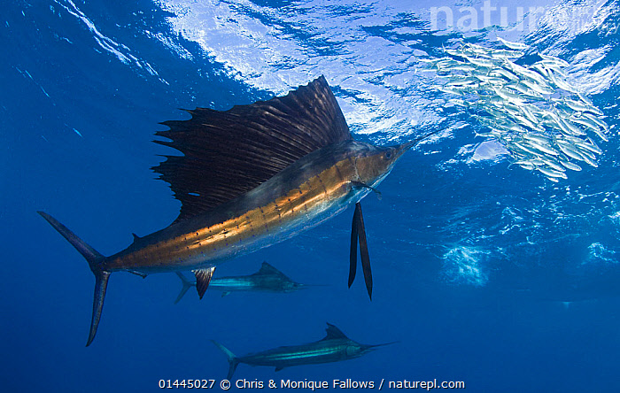 Indo Pacific Sailfish (Istiophorus platypterus) feeding on sardines, Isla Mujeres, Mexico.  ,  catalogue6,Animal,Vertebrate,Ray finned fish,Percomorphi,Marlin,Sailfish,Pacific sailfish,Animalia,Animal,Wildlife,Vertebrate,Chordate,Actinopterygii,Ray finned fish,Osteichthyes,Bony fish,Fish,Perciformes,Percomorphi,Acanthopteri,Istiophoridae,Marlin,Istiophorus,Sailfish,Istiophorus platypterus,Pacific sailfish,Indo Pacific sailfish,Japanese Sailfish,Peacock fish,Istiophorus dubius,Istiophorus brookei,Xiphias platypterus,Bizarre,Escape,Escapes,Escaping,Threat,Menace,Menaces,Menacing,Threatening,Threats,Colour,Blue,School,Many,Few,Three,Group,Large Group,No One,Nobody,Latin America,Central America,Mexico,Profile,Horizontal,Side View,Fin,Dorsal Fin,Dorsal Fins,Tropical,Ocean,Day,Marine,Underwater,Animal Behaviour,Feeding,Predation,Hunting,Temperate,Behaviour,Saltwater,Tropics,Ventral view,Underside,Three Animals,Isla Mujeres,Marine  ,  Chris & Monique Fallows