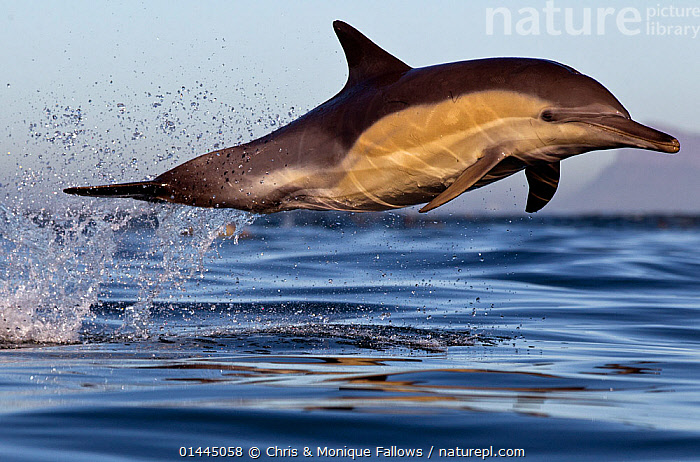 Common dolphin (Dephinus delphis) porpoising, False Bay, Cape Town, South Africa., high1314,Animal,Vertebrate,Mammal,Ceteacean,Oceanic dolphin,Common dolphins,Atlantic Dolphin,Animalia,Animal,Wildlife,Vertebrate,Mammalia,Mammal,Cetacea,Ceteacean,Delphinidae,Oceanic dolphin,Dolphin,Odontoceti,Delphinus,Common dolphins,Delphinus delphis,Atlantic Dolphin,Pacific Dolphin,Saddle-backed Dolphin,Short-beaked Common Dolphin,Short-beaked Saddleback Dolphin,Breaching,Focus,Energetic,On The Move,Speed,Happiness,Mid Air,Nobody,Streamlined,Africa,Southern Africa,South Africa,Full Length,Full Lengths,Whole,Horizontal,Side View,Light,Lights,Light Effect,Refraction,Prism,Prisms,Refractions,Ocean,Atlantic Ocean,Indian Ocean,Outdoors,Open Air,Outside,Day,Marine,Water Surface,Water,Animal Behaviour,Temperate,Behaviour,Saltwater,Sea,Cape floristic region,Biodiversity hotspots,Biodiversity hotspot,Breaches,Porpoising,Leaping,Leaps,Leap,Surfacing,South African,Moving,Sealife,Water spray,Focused,False Bay,Destination,Marine, Chris & Monique Fallows