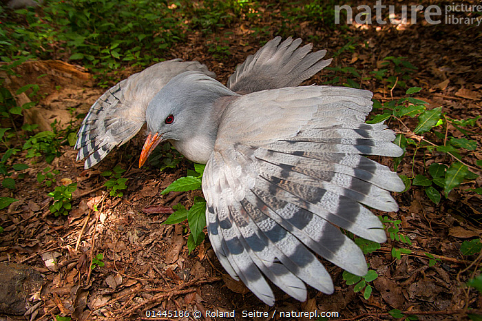 Kagu (Rhynochetos jubatus) with wings spread in defensive display to protect nest, captive, Parc zoologique et forestier / Zoological and Forest Park, Noumea, South Province, New Caledonia. Endangered species  ,  ANIMALIA,ANIMAL,WILDLIFE,VERTEBRATE,CHORDATE,AVES,BIRDS,GRUIFORMES,RHYNOCHETIDAE,RHYNOCHETOS,RHYNOCHETOS JUBATUS,KAGU,CAGOU,OCEANIA,OCEANICA,HORIZONTAL,WING,WINGS,ANIMAL BEHAVIOUR,DEFENSIVE,PARENTAL BEHAVIOUR,BEHAVIOUR,PARENTAL,BIODIVERSITY HOTSPOTS,BIODIVERSITY HOTSPOT,ANIMAL,VERTEBRATE,BIRDS,KAGU,ENDANGERED SPECIES,THREATENED,ENDANGERED,NEAR FLIGHTLESS  ,  Roland  Seitre
