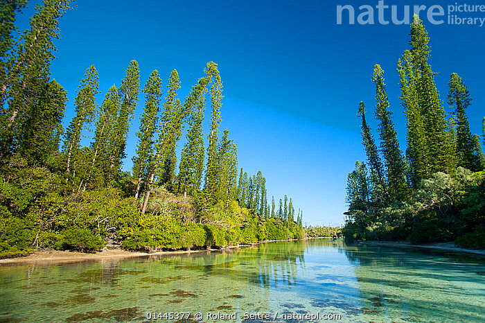 Natural pool and Cook's pine trees (Araucaria columnaris), Oro, Ile des Pins / Isle of Pines, South Province, New Caledonia.  ,  PLANTAE,PLANT,TRACHEOPHYTA,VASCULAR PLANT,PINOPSIDA,CONIFER,GYMNOSPERM,SPERMATOPHYTE,PINOPHYTA,CONIFEROPHYTA,CONIFERAE,SPERMATOPHYTINA,GYMNOSPERMAE,ARAUCARIALES,ARAUCARIACEAE,ARAUCARIA,ARAUCARIA COLUMNARIS,COOK PINE,OCEANIA,OCEANICA,HORIZONTAL,PLANTS,VEGETATION,TREE,TREES,LANDSCAPE,LANDSCAPES,SCENIC,FOREST,HABITAT,BIODIVERSITY HOTSPOTS,BIODIVERSITY HOTSPOT,PLANT,VASCULAR PLANT,CONIFER,COOK PINE  ,  Roland  Seitre