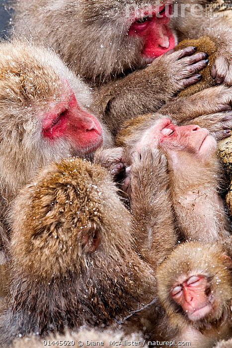 Japanese Macaque (Macaca fuscata) mothers grooming their babies in the hot springs of Jigokudani, Japan, February, high1314,Animal,Vertebrate,Mammal,Monkey,Macaque,Japanese macaque,Animalia,Animal,Wildlife,Vertebrate,Mammalia,Mammal,Primate,Primates,Cercopithecidae,Monkey,Old World Monkeys,Macaca,Macaque,Papionini,Macaca fuscata,Japanese macaque,Grooming,Effort,Exertion,Trying,Few,Three,Group,Medium Group,Nobody,Temperature,Cold,Asia,East Asia,Japan,Chubu,Nagano Prefecture,Nagano,Nagano Shi,Full Frame,Vertical,Close Up,Young Animal,Juvenile,Babies,Female animal,Hair,Fur,Snow,Outdoors,Open Air,Outside,Season,Seasons,Winter,Day,Animal Behaviour,Social behaviour,Social Grooming,Parental behaviour,Family,Mother baby,Behaviour,Mother-baby,mother,Parental,Medium group of animals,Parent baby,Three Animals,Jigokudani,Animal Hair, Diane  McAllister