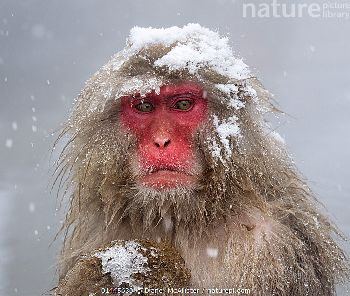 Japanese Macaque (Macaca fuscata) mother holding her baby in snowstorm, Jigokudani, Japan., high1314,Animal,Vertebrate,Mammal,Monkey,Macaque,Japanese macaque,Animalia,Animal,Wildlife,Vertebrate,Mammalia,Mammal,Primate,Primates,Cercopithecidae,Monkey,Old World Monkeys,Macaca,Macaque,Papionini,Macaca fuscata,Japanese macaque,Glance,Glances,Glancing,Look Away,Looks Away,Sadness,Uncertain,Unsure,Frozen,Nobody,Temperature,Cold,Displeased,Worried,Asia,East Asia,Japan,Chubu,Nagano Prefecture,Nagano,Nagano Shi,Horizontal,Close Up,Front View,View From Front,Portrait,Hair,Fur,Snow,Weather,Precipitation,Snowing,Snowfall,Outdoors,Open Air,Outside,Season,Seasons,Winter,Fed up,Jigokudani,Downcast,Animal Hair, Diane  McAllister