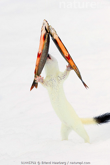 Stoat (Mustela erminea) in white winter coat, trying to steal fish (trout) hanging on transparent fishing line. Vauldalen, Sor-Trondelag, Norway, April  ,  catalogue6,Animal,Vertebrate,Ray finned fish,Percomorphi,Salmonid,Trout,Mammal,Carnivore,Mustelid,Stoat,Animalia,Animal,Wildlife,Vertebrate,Chordate,Actinopterygii,Ray finned fish,Osteichthyes,Bony fish,Fish,Perciformes,Percomorphi,Acanthopteri,Salmonidae,Salmonid,Salvelinus,Trout,Mammalia,Mammal,Carnivora,Carnivore,Mustelidae,Mustelid,Mustela,Mustela erminea,Stoat,Ermine,Short tailed Weasel,Hanging,Fishing for leisure,Theft,Camouflage,Effort,Exertion,Trying,Humorous,Mischief,Colour,White,Few,Three,Group,No One,Nobody,Europe,Northern Europe,North Europe,Nordic Countries,Scandinavia,Norway,Vertical,Close Up,Equipment,Fishing Equipment,Fishing Line,Fishing Lines,Outdoors,Open Air,Outside,Day,Animal Behaviour,Feeding,Predation,Colour phases,Winter coat,Behaviour,Stealing,Three Animals,White colour,Vauldalen,Sor Trondelag,Concepts  ,  Erlend  Haarberg