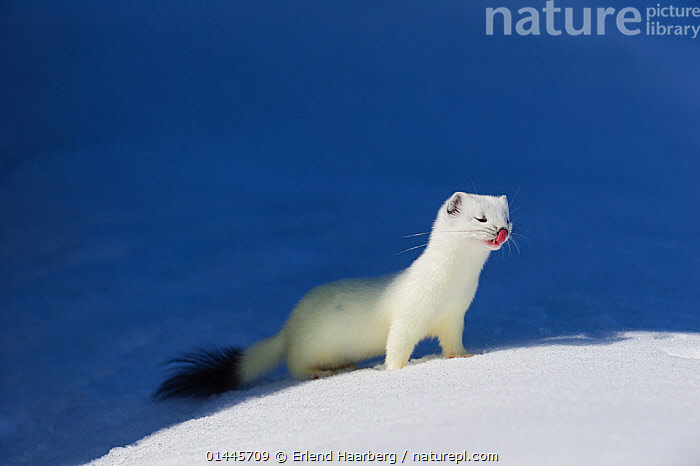 Stoat (Mustela erminea) in white winter coat. Vauldalen, Sor-Trondelag, Norway, May.  ,  catalogue6,Animal,Vertebrate,Mammal,Carnivore,Mustelid,Stoat,Animalia,Animal,Wildlife,Vertebrate,Chordate,Mammalia,Mammal,Carnivora,Carnivore,Mustelidae,Mustelid,Mustela,Mustela erminea,Stoat,Ermine,Short tailed Weasel,Gesturing,Eyes Closed,Closed Eye,Closed Eyes,Eye Closed,Eye Shut,Eyes Shut,Shut Eyes,Standing,Thinking,Camouflage,Cute,Adorable,Hope,No One,Nobody,Europe,Northern Europe,North Europe,Nordic Countries,Scandinavia,Norway,Coloured Background,Blue Background,Copy Space,Close Up,Side View,Snow,Outdoors,Open Air,Outside,Day,Colour phases,Winter coat,Negative space,Vauldalen,Sor Trondelag,Naive,Wishful  ,  Erlend  Haarberg